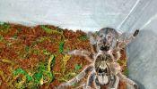 Ceratogyrus Marshalli Tarantula