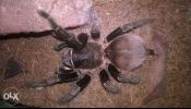Tarantula for sale! All can be negotiabtle. All with free feeders