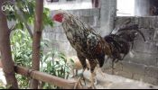 Fighting Cock For Sale (9 months)
